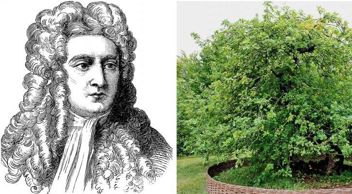Jabloň, díky níž Isaac Newton objevil gravitační sílu, stále existuje a je stará více než 400 let