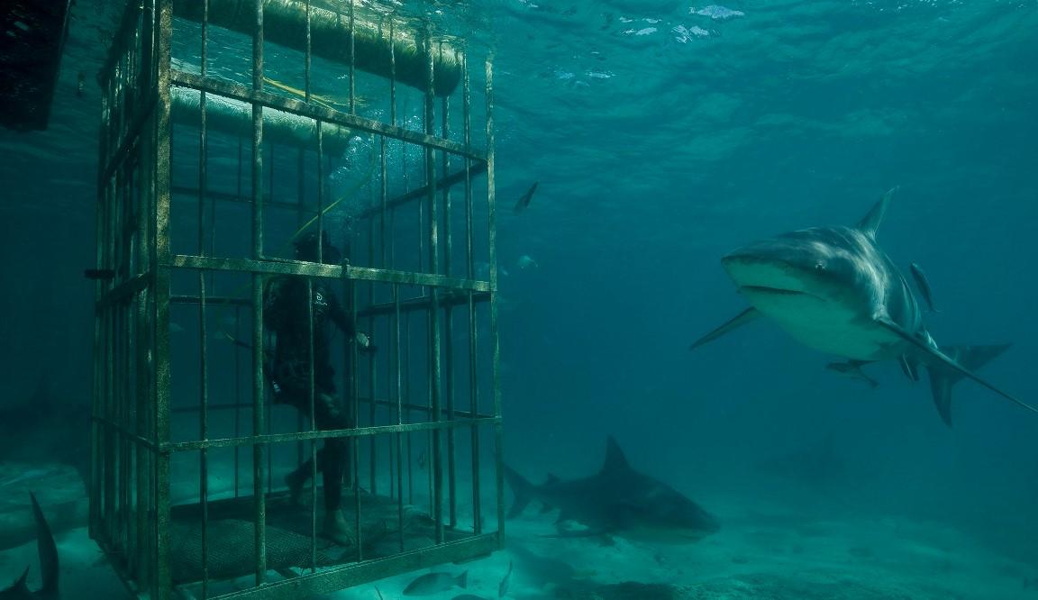 Matt Smukall pozoruje gang býčích žraloků během ponoru v kleci v Bimini na Bahamách.