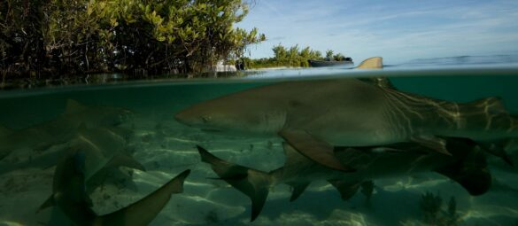Gang žraloků citronových plave poblíž ochranných mangrovů v Bimini na Bahamách.