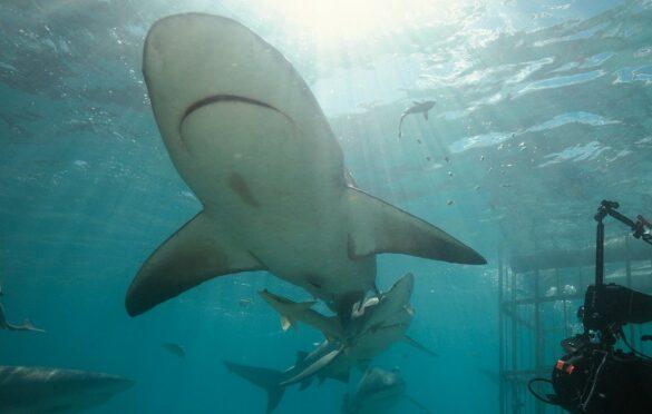 Natáčení gangu býčích žraloků v Bimini na Bahamách